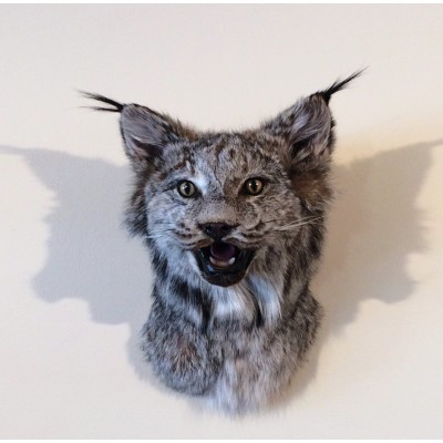 Bilodeau - Tête de Lynx